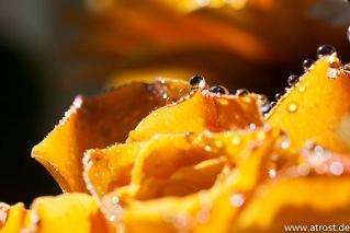 Web  2013 03 05  Splash Fotografie Blumen Strauß Öl 100 mm 1 50 Sek bei f  9 0 EF100mm f 2 8L Macro IS USM 1