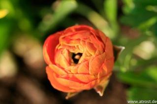 Web 2009 04 09 Makroaufnahmen Frühjahr Pfrondorf Blüten 60 mm 1 250 Sek bei f 5 6 EF S60mm f 2 8 Macro USM 1 3